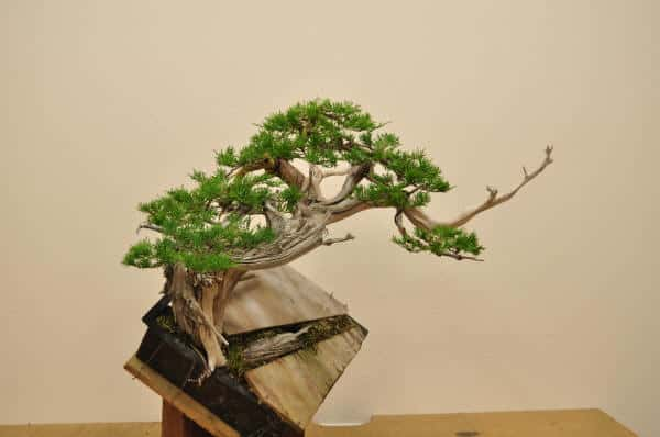 Potting Collected Rocky Mountain Juniper Ryan Neil Minnesota Bonsai Society