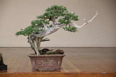 Potting Collected Rocky Mountain Juniper Ryan Neil Minnesota Bonsai Society
