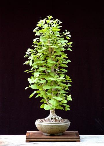 The Mystical Magical Ginkgo Tree Minnesota Bonsai Society