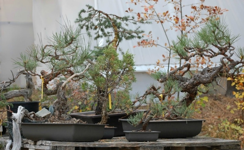 Visit With Andy Smith Golden Arrow Bonsai Minnesota Bonsai Society